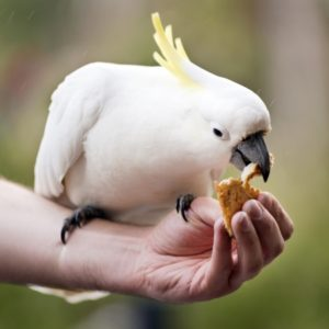 22029136 - hand feeding a sulphur crested cockatoo in australia