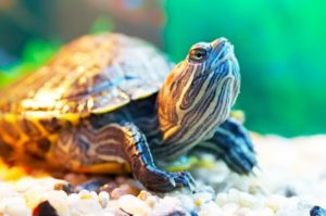 8845458 - pond slider ashore in terrarium